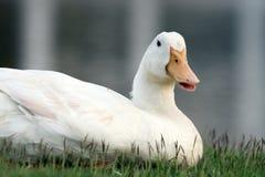 Weiße Ente auf einem grünen Rasen Lizenzfreies Stockbild