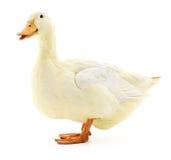 Weiße Ente auf Weiß lizenzfreies stockbild