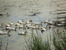 Weiße Ente des Haushalts in einem Teich im Sommer Lizenzfreie Stockbilder