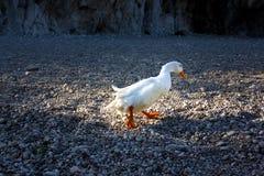 Weiße Ente, die auf ein Pebble Beach geht Stockbilder