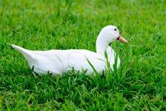 Weiße Ente, die auf Glas sitzt Stockbild