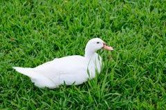 Weiße Ente, die auf Glas sitzt Lizenzfreie Stockfotografie
