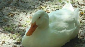 Weiße Ente, die aus den Grund sitzt stock footage