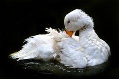 Weiße Ente, die im Wasser sich pflegt lizenzfreie stockfotos