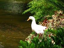 Weiße Ente durch Teich Lizenzfreies Stockfoto