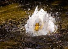 Weiße Ente in einem Spritzen Lizenzfreie Stockbilder