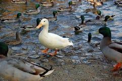 Weiße Ente in einer Menge Lizenzfreie Stockbilder