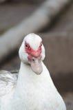 Weiße Ente im Geflügelhof Lizenzfreies Stockfoto