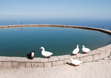 weiße Ente im Teich Stockbilder