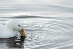 Weiße Ente und Kräuselungen Stockbild