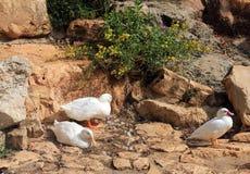 Weiße Enten stockbilder