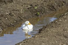 Weiße Enten Lizenzfreies Stockbild