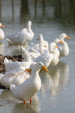 Weiße Enten, die im Teich oder im See stillstehen Selektiver Fokus stockbilder