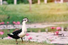Weiße Enten in einem Teich mit Lotosrosa Stockfotos