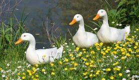 Weiße Enten im Frühjahr Stockfotografie
