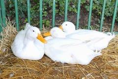 Weiße Enten im grünen Käfig Stockbilder