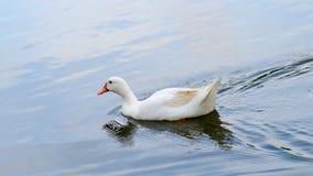 Weiße Entenschwimmen Stockfoto