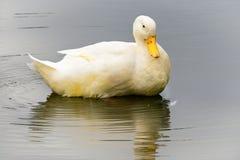 Weiße Entenschwimmen auf dem See Stockfotos