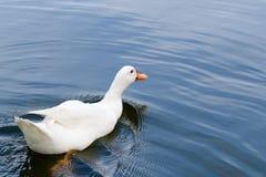 Weiße Entenschwimmen im Pool Stockfoto