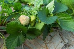 Weiße Erdbeere Lizenzfreie Stockbilder