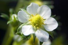 Weiße Erdbeereblumen Lizenzfreie Stockfotografie