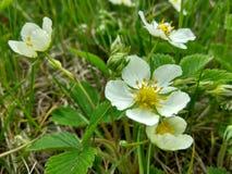 Weiße Erdbeereblumen Stockbilder