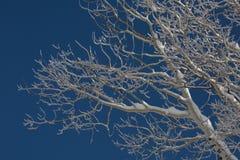 Weiße Espe verzweigt sich mit Schnee auf ihnen gegen einen dunkelblauen Himmel Lizenzfreies Stockbild