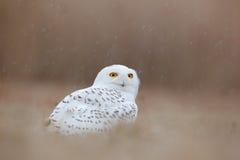 Weiße Eule auf der Wiese Vogelschnee-eule mit den gelben Augen, die im Gras, in der Szene mit klarem Vordergrund und im Hintergru stockfoto