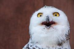 Weiße Eule mit schockierendem meme Gesicht Lizenzfreie Stockbilder