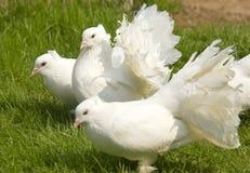 Weiße Fantails Lizenzfreies Stockfoto