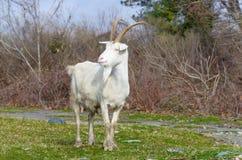 Weiße Farbe der Ziege, die auf grünem Gras steht lizenzfreie stockfotos