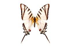 Weiße Farbe des tropischen Schmetterlinges lokalisiert auf Weiß Lizenzfreie Stockfotos