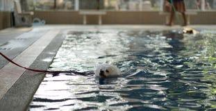 Weiße Farbejapanische Spitz-Hundeschwimmen im Pool Stockbild
