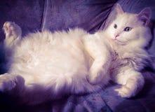 Weiße faule Katze Lizenzfreie Stockfotos