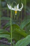 Weiße Fawn Lily Stockfoto