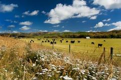 Weiße Feld oflowers mit Kühen Stockfotografie