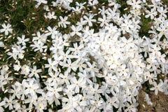 Weiße Flammenblume stockbilder