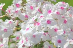 Weiße Flammenblume. Sommerblume. Stockfotografie
