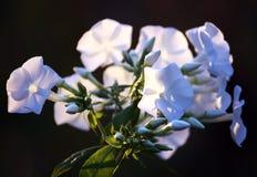 Weiße Flammenblumen Lizenzfreies Stockfoto
