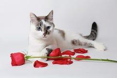 Weiße flaumige blauäugige Katze, die auf einem weißen Hintergrund in einer würdevollen Haltung mit einer roten Rose und den Blume Lizenzfreies Stockbild