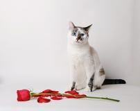 Weiße flaumige blauäugige Katze, die auf einem weißen Hintergrund in einer würdevollen Haltung nahe bei einer roten Rose und Blum Lizenzfreies Stockfoto