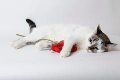 Weiße flaumige blauäugige Katze, die auf hellem Hintergrund liegt und eine rote Rose in den Armen hält Lizenzfreies Stockbild