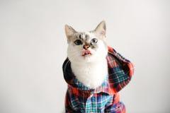 Weiße flaumige blauäugige Katze in einem karierten Hemd mit einer Haube auf einem hellen Hintergrund Nahaufnahmeporträt, leckend Lizenzfreie Stockfotografie
