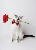 Weiße flaumige blauäugige Katze in einer stilvollen Fliege auf einem hellen Hintergrund, der eine rote Rose in seinen Zähnen hält Stockfoto