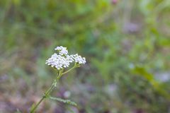 Weiße flaumige Blume auf einem Hintergrund des grünen Grases Stockfotos