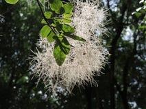 Weiße flaumige Blume auf grünem Baumast Lizenzfreie Stockfotografie