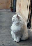 Weiße flaumige Cat Sitting On Ground Stockbilder