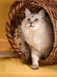 Weiße flaumige Katze auf gelbem Hintergrund Lizenzfreie Stockfotos