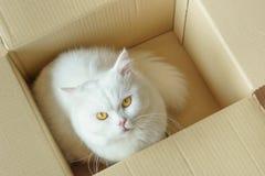Weiße flaumige Katze in einem Präsentkarton Stockbild