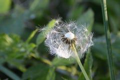 Weiße flaumige Löwenzahn-Blume, Tschechische Republik, Europa lizenzfreies stockfoto